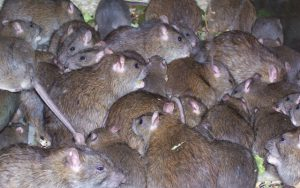 Dedetizadora de ratos em Jaguaré