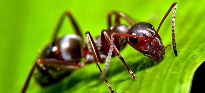 Dedetizadora de formigas em Jardim Jabaquara
