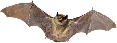 Dedetizadora de Morcegos em Ibirapuera