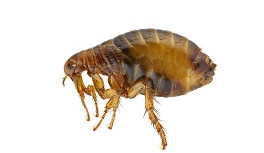 Dedetizadora de pulgas em Jardim Áurea